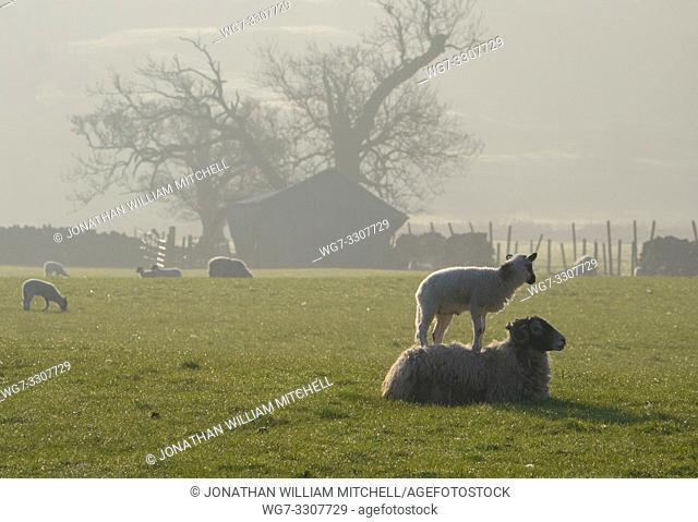 NEAR BUTTERWORTH, CUMBRIA, UK - 01 May 2019 - The burden of motherhood. . . A lamb stands upon a ewe's back in a vain attempt to get her to stand and allow the...