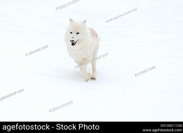 An Arctic Wolf in a snowy forest hunting for prey