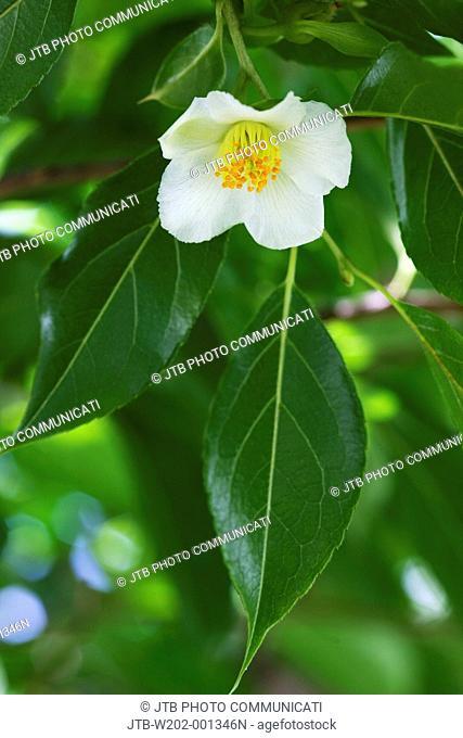 Stewartia monadelpha, Tochigi, Kanto, Japan