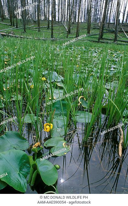 Western Water Lily (Nuphar polysepalum) Yellowstone NP/WY