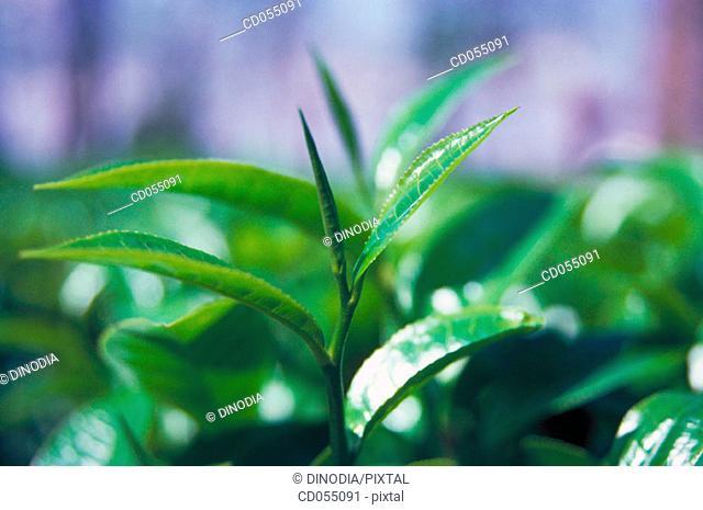 Tea. Assam. India