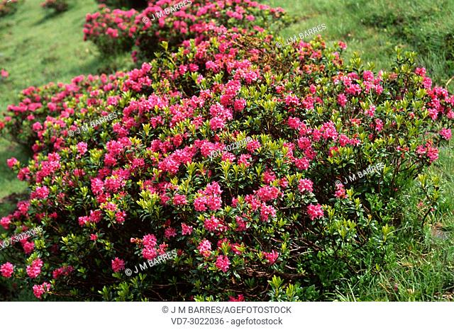 Alpenrose (Rhododendron ferrugineum) is a evergreen shrub native to Europe mountains (Alps, Apennines and Pyrenees). This photo was taken in Pyrenees