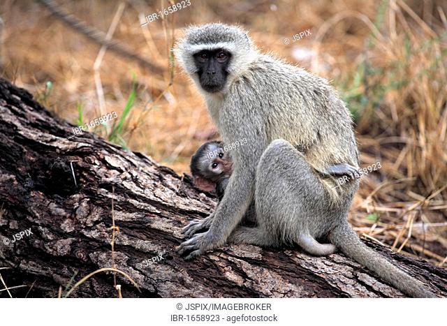 Vervet Monkey, Grivet Monkey (Cercopithecus aethiops), female adult with young on tree, Kruger National Park, South Africa, Africa