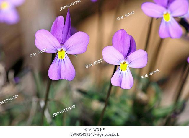 La Palma violet (Viola palmensis), two blooming plants, Canary Islands, La Palma, Caldera Taburiente National Park
