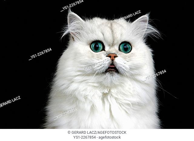 Chinchilla Persian Domestic Cat against Black Background