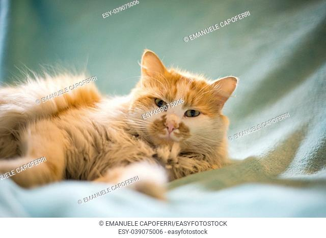 portrait of red and white cat lying on blue blanket