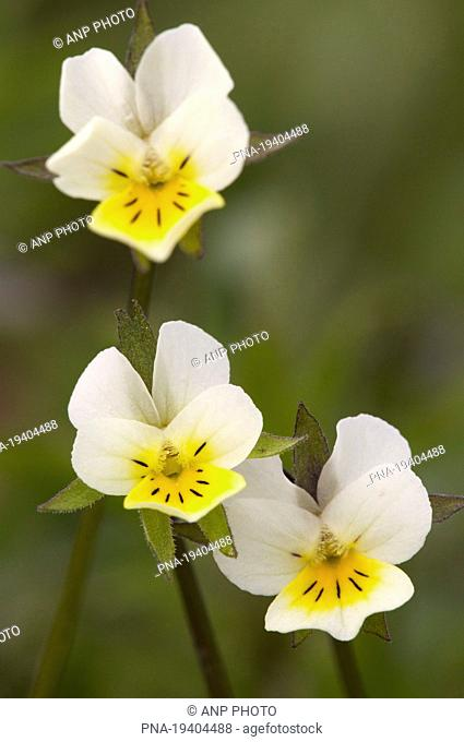 Field Pansy Viola arvensis - Biebrza, Podlaskie, Podlachia, Poland, Europe