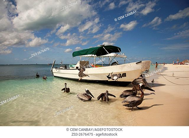 Caribbean brown pelicans, Pelecanus Occidentalis Occidentalis at the beach near the fishing boats, Isla Mujeres, Cancun, Quintana Roo, Yucatan Province, Mexico
