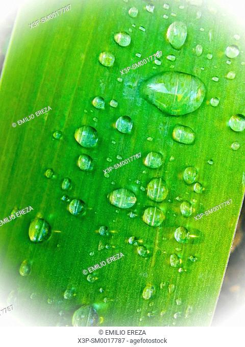 Droplets on iris leaf