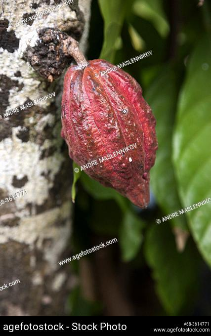 Cacao fruit on La Digue island. Seychelles.