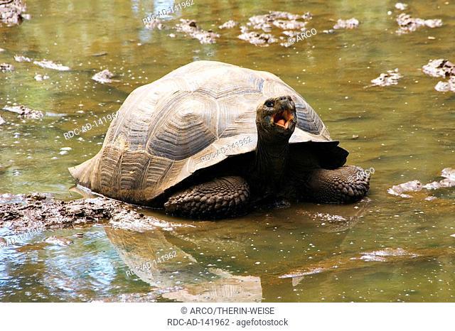 Galapagos Giant Tortoise Santa Cruz Island Galapagos Islands Ecuador Geochelone elephantopus porteri Testudo elephantopus porteri Geochelone nigra porteri