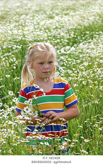 Scentless mayweed, Scentless chamomile (Tripleurospermum perforatum, Tripleurospermum inodorum, Matricaria inodora), girl in a mayweed field picking flowers