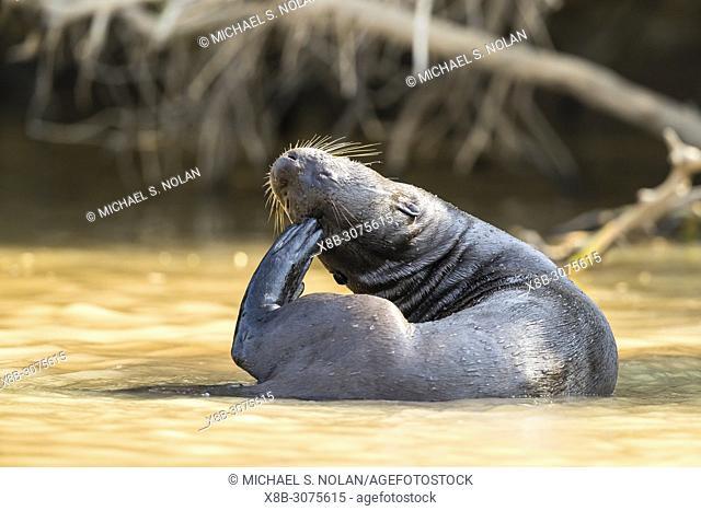 An adult giant river otter, Pteronura brasiliensis, near Puerto Jofre, Mato Grosso, Pantanal, Brazil