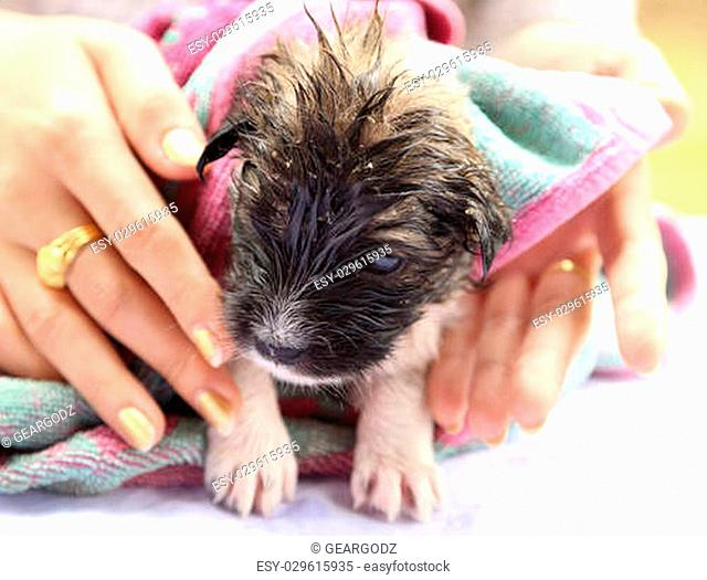 puppy dog after the bath with hand and a peach towel