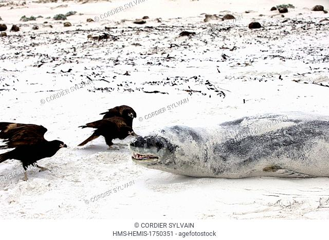 Falkland Islands, Saunders island, Leopard Seal (Hydrurga leptonyx) with a Johnny Rook, or Striated Caracara (Phalcoboenus australis)