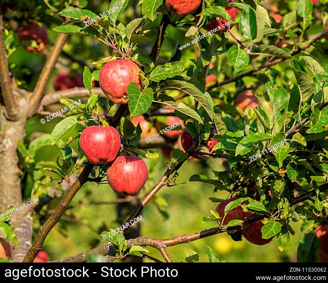 Natural red apples without any treatment hanging on the branch in the apple orchard during the autumn