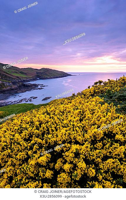 Gorse flowering in spring on the cliff top overlooking Rockham Beach and Morte Point on the North Devon coast at dusk, England