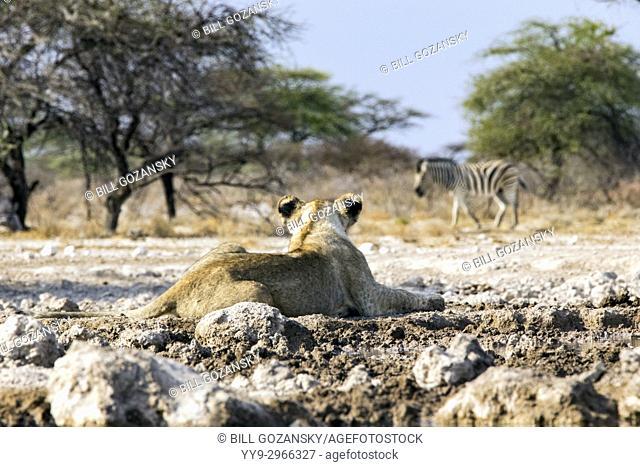 Lion Cub (Panthera leo) watching Burchell's Zebra at Onkolo Hide, Onguma Game Reserve, Namibia, Africa