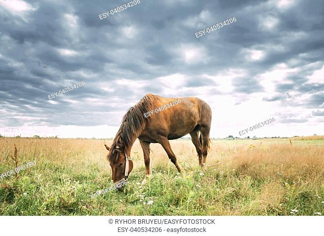 Red Horse Grazing Grass In Summer Meadow