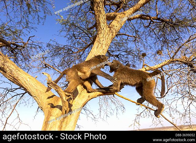 Africa, Namibia, Private reserve, Chacma or chacma baboon (Papio ursinus), youngs playing in a tree