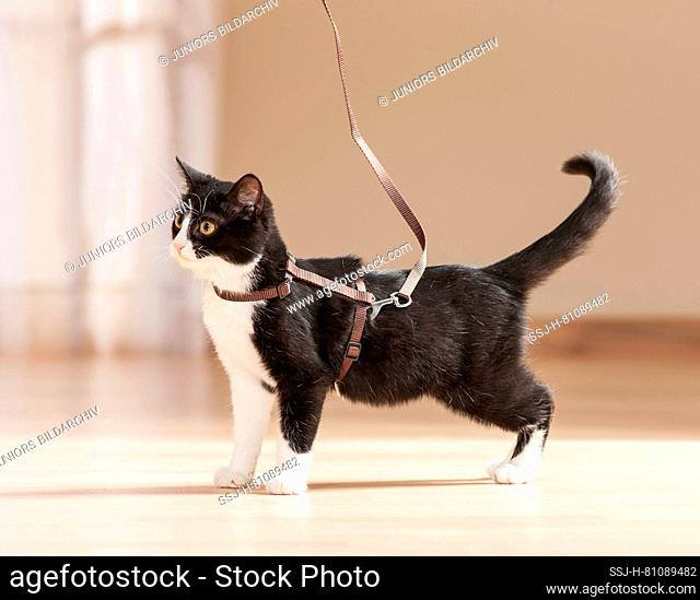 Young domestic cat with harness and lead. Germany
