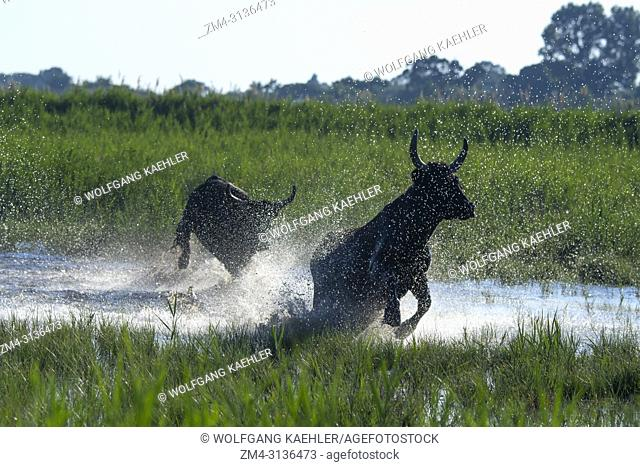 Camargue bulls are running through the marshlands of the Camargue in southern France