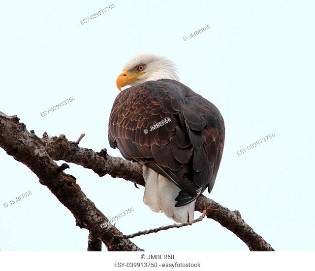 Bald Eagle in cold winter day