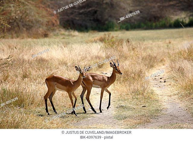 Impala (Aepyceros melampus), Lake Manyara National Park, Tanzania