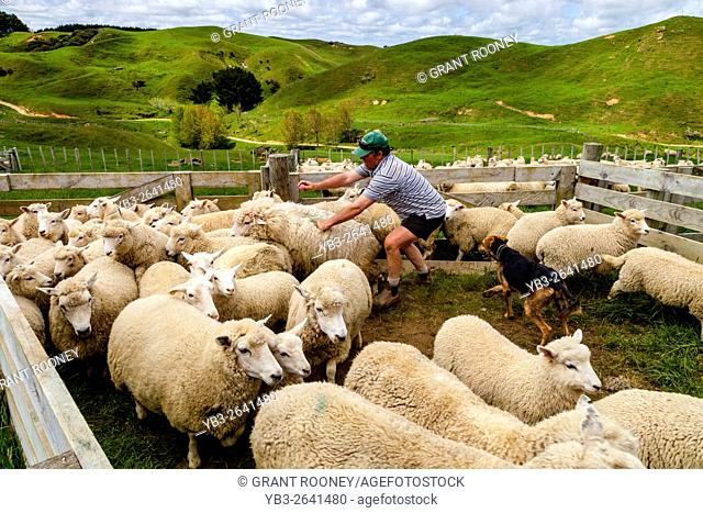 Sheep In A Pen Waiting To Be Counted and Weighed, Sheep Farm, Pukekohe, North Island, New Zealand