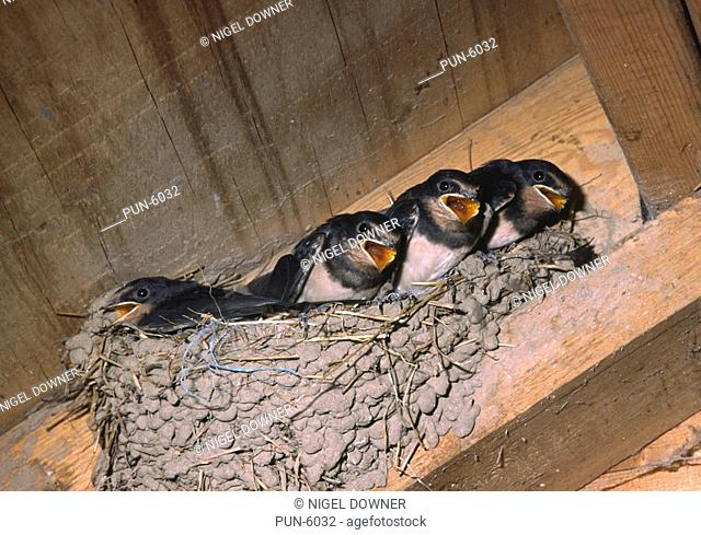 Close up of young swallows Hirundo rustica in nest with open beaks