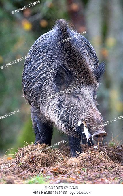 France, Haute Saone, Private park, Wild Boar (Sus scrofa), male in rut