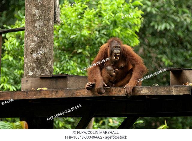 Bornean Orang-utan Pongo pygmaeus adult, female with baby, on feeding platform, Sepilok Rehabilitation Centre, Sabah, Borneo, Malaysia