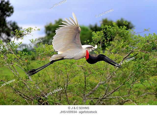 Jabiru, (Jabiru mycteria), adult flying, Pantanal, Mato Grosso, Brazil, South America