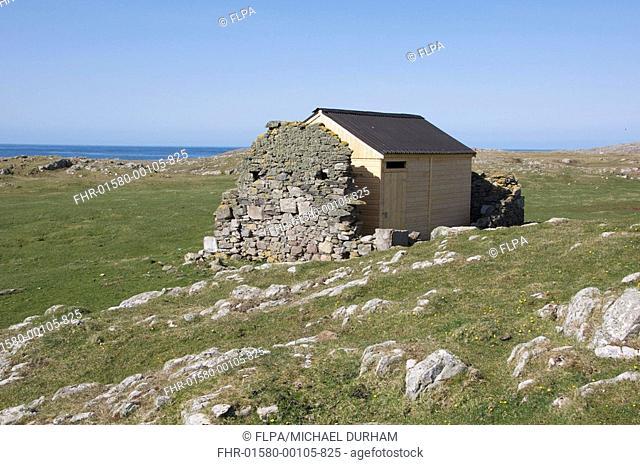 Red-billed Chough Pyrrhocorax pyrrhocorax nesting house, built in ruins of stone hut, Machir, Islay, Inner Hebrides, Scotland, april