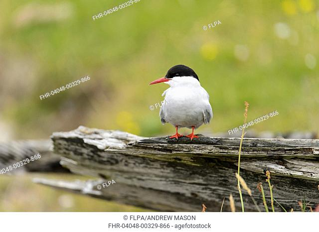 Arctic Tern (Sterna paradisaea) adult, breeding plumage, standing on driftwood, Shetland Islands, Scotland, July