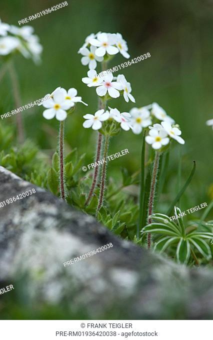 Sweetflower rockjasmine, Androsace chamaejasme / Bewimperter Mannsschild, Androsace chamaejasme