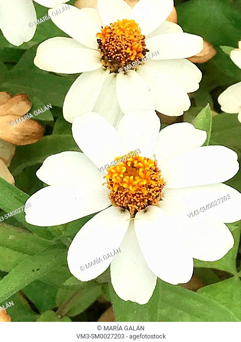 White flowers. Close view
