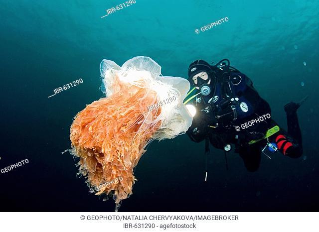 Lion's mane jellyfish (Cyanea capillata) and diver. Barents Sea, Russia