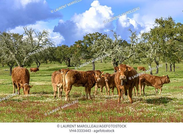 Cows grazing in a Cork Oak Dehesa, Evora District, Alentejo Region, Portugal, Europe