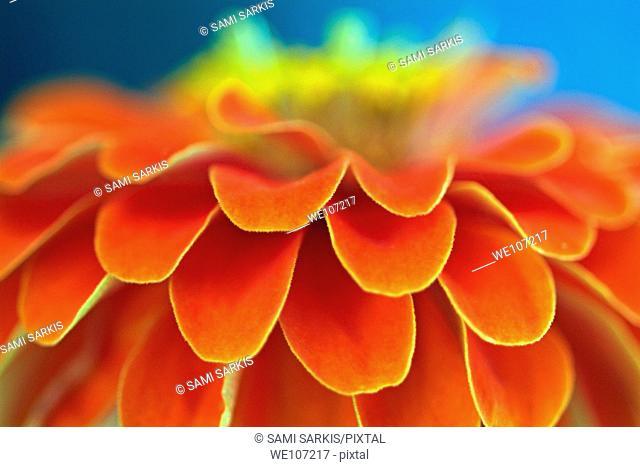 Orange common zinnia zinnia elegans in garden