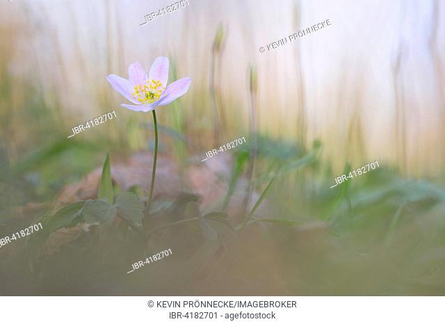 Wood anemone (Anemone nemorosa), lowland forest near Leipzig, Saxony, Germany