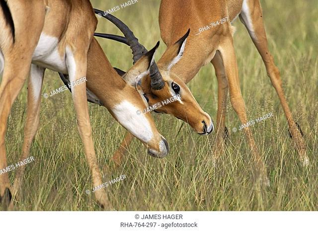 Two male impala Aepyceros melampus fighting, Serengeti National Park, Tanzania, East Africa, Africa