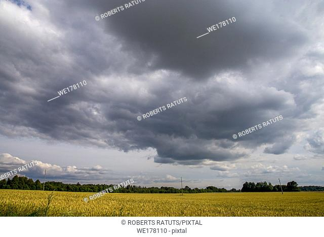 Field with cereal and forest on the back, against a blue sky. Summer landscape with cereal field and cloudy blue sky. Classic rural landscape in Latvia