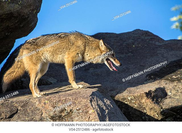 A curious coyote (Canis latrans) standing on a rock, captive, California, USA
