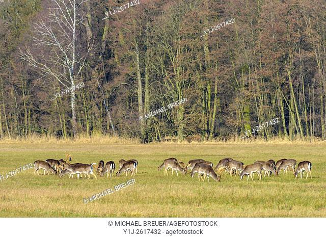 Herd of Fallow Deers (Cervus dama) in February, Hesse, Germany, Europe