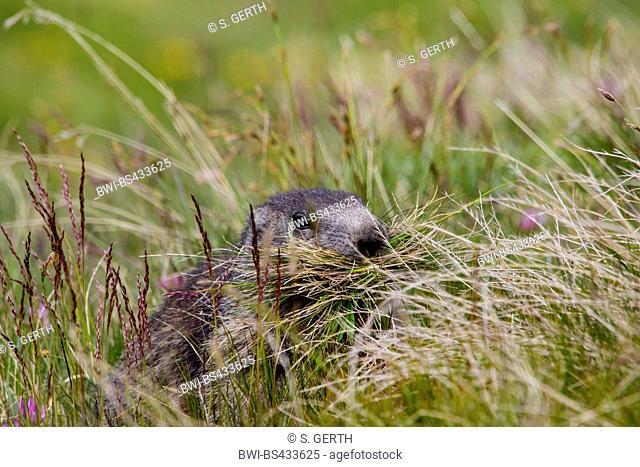 alpine marmot (Marmota marmota), collects grass in an alpine meadow, Switzerland, Valais