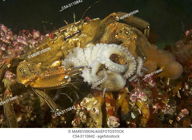 Devil crab. Swimming crab. Velvet fiddler. Velvet Swimming Crab (Necora puber) devouring juvenile Octopus (Octopus vulgaris). Eastern Atlantic