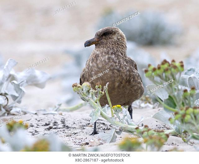 Falkland Skua or Brown Skua (Stercorarius antarcticus, exact taxonomy is under dispute), they are the great skuas of the southern polar and subpolar region