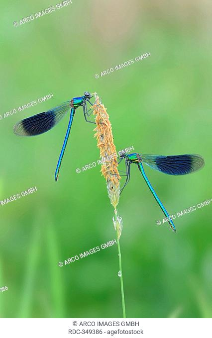Banded Demoiselle, males, North Rhine-Westphalia, Germany / Calopteryx splendens, Agrion splendens