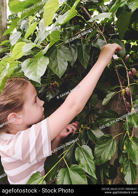 Girl picks ripe mulberry fruit from a tree in the garden